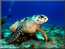 Blue Water Explorers - Diving with Turtles