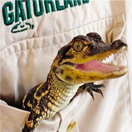 Baby Gator at Gatorland Orlando