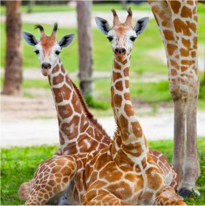 See giraffes and other wonderful animals at Busch Gardens