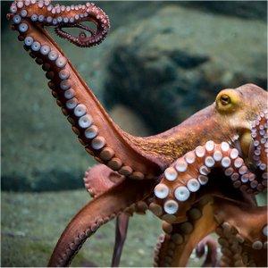 Octopus off West Palm Beach
